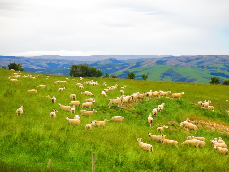 Image of sheep in New Zealand